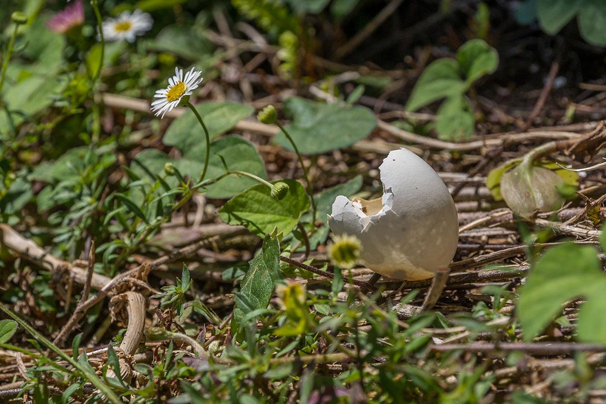 Azoren, Faial, Blume