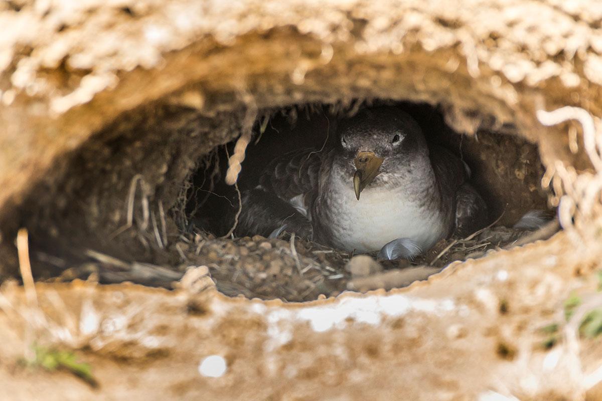 Azoren, Faial, Ponta de Castelo Branco, Cory's Shearwater Nest
