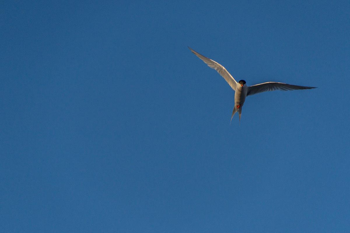 Azoren, Arctic Tern
