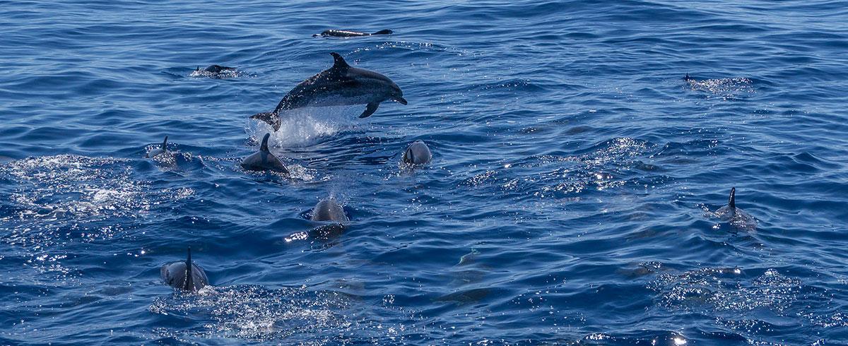 Azoren, Delfine