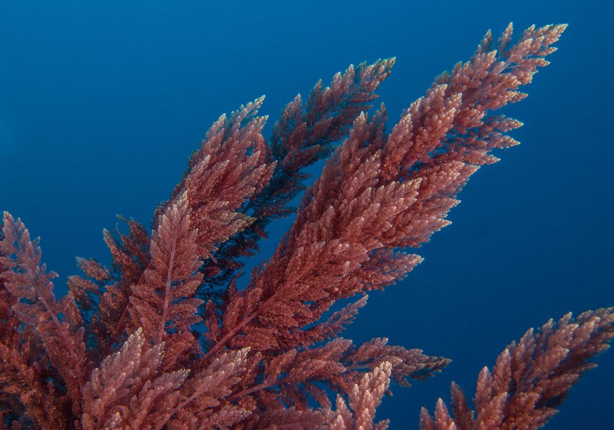 Azoren, Koralle