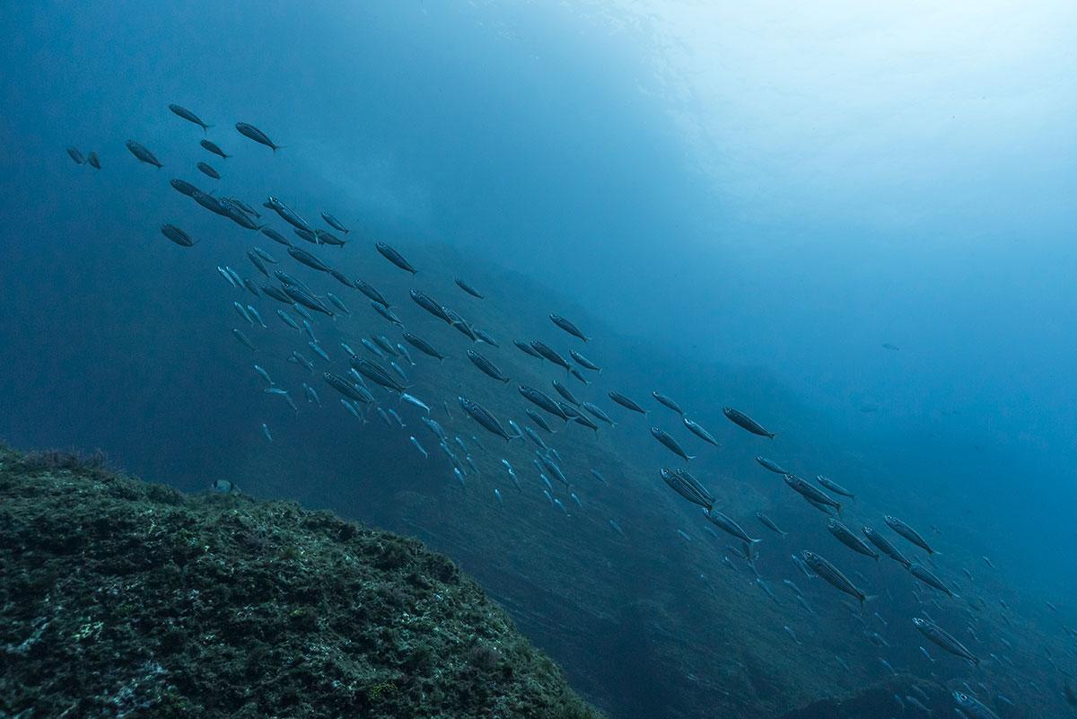 Azoren, Fisch Schwarm
