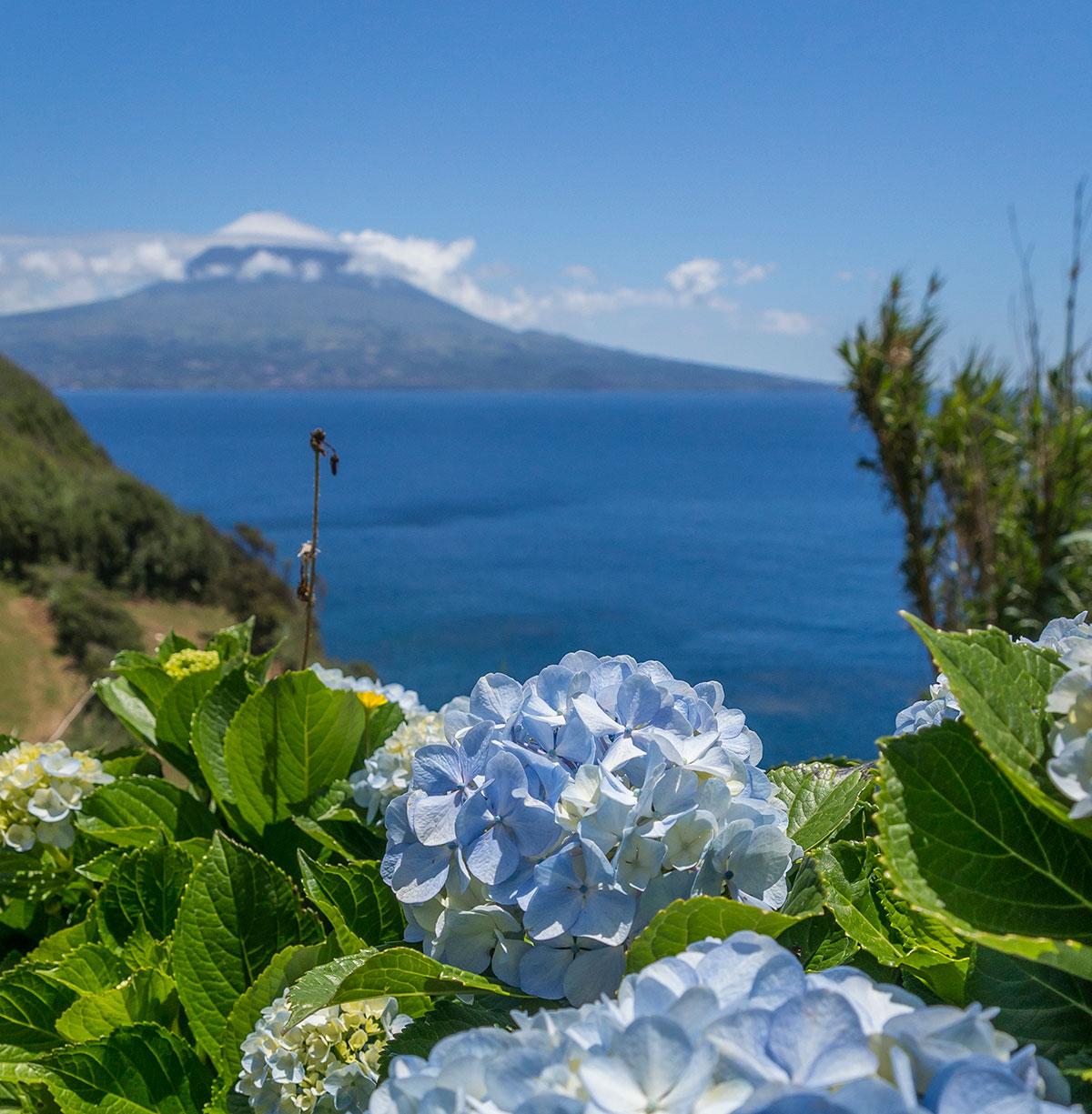 Azoren, Faial, Hortensie mit Blick auf Pico