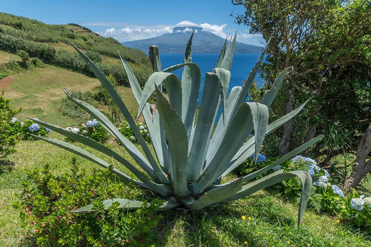 Azoren, Faial, Agave mit Blick auf Pico