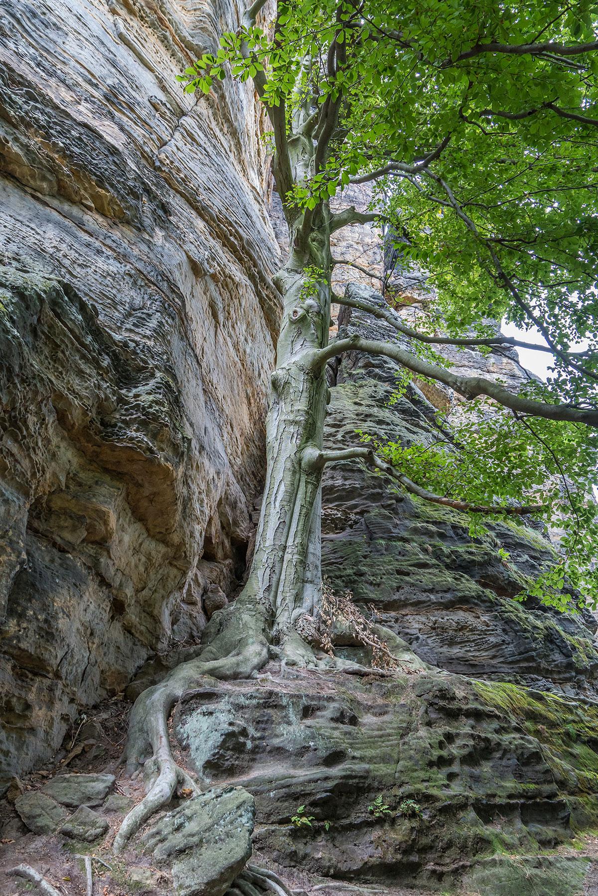 Elbtal bei Děčín, Felsen mit Baum
