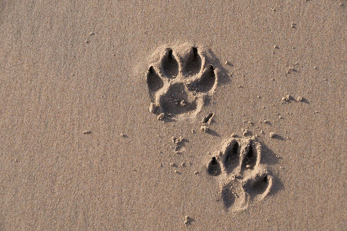 Praia Grande do Guincho, Fußabdrücke von Hund