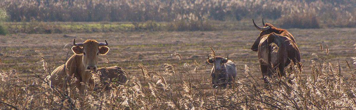 Portugal, Reserva Natural do Estuário do Sado, Wasserbüffel