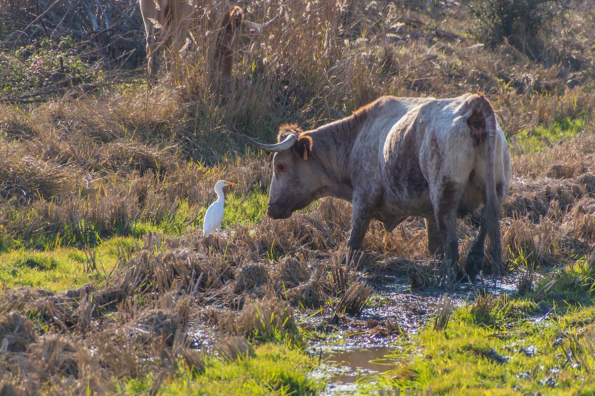 Portugal, Reserva Natural do Estuário do Sado, Wasserbüffel, Reiher