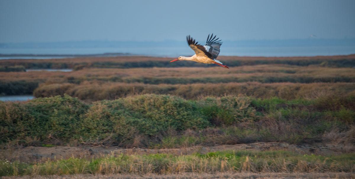 Portugal, Reserva Natural do Estuário do Sado, Storch